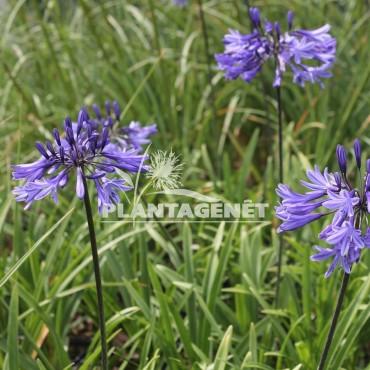 AGAPANTHUS Midnight Blue / Agapanthe