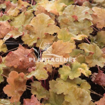 HEUCHERA Amber waves / Heucherère