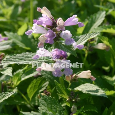 NEPETA subsessilis Pink Dreams / Menthe des chats