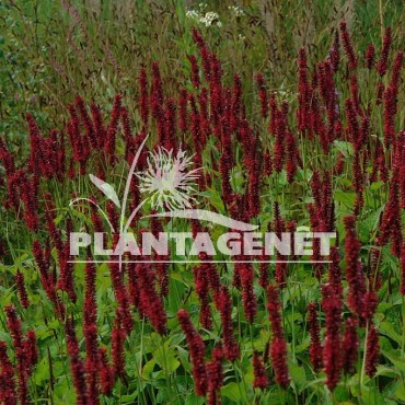 PERSICARIA amplexicaulis Black Field / Renouée