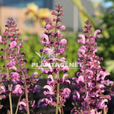 SALVIA nemerosa Merleau rose / Sauge herbacée