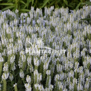 SALVIA nemerosa Sensation white / Sauge herbacée