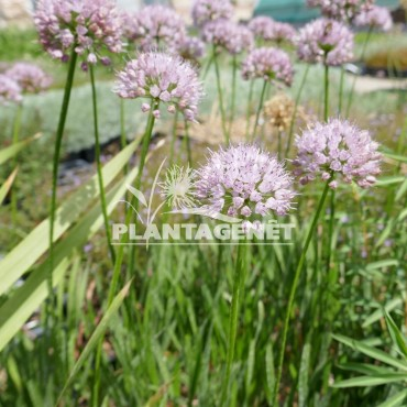 ALLIUM Summer beauty / Ail