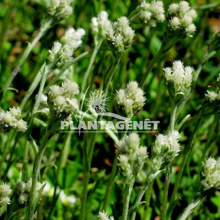 ANTENNARIA plantaginifolia / Pied de chat