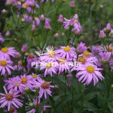 ASTER amellus Rosa Erfullung fleur