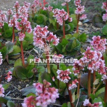BERGENIA Baby Doll / Plante des savetiers