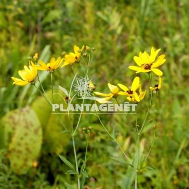 COREOPSIS tripteris / Coréopsis