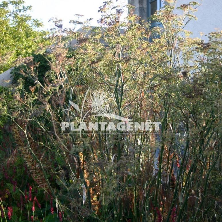 FOENICULUM vulgare Purpureum