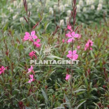 GAURA Belleza Dark Pink