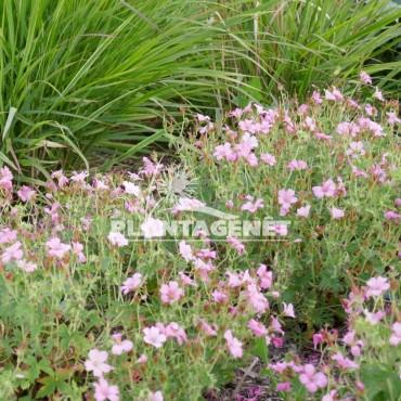 GERANIUM x oxonianum Rose Clair