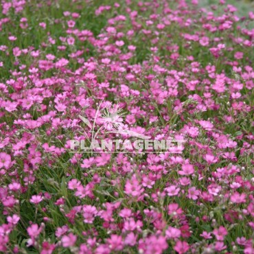 GYPSOPHILA repens Rosa Schönheit