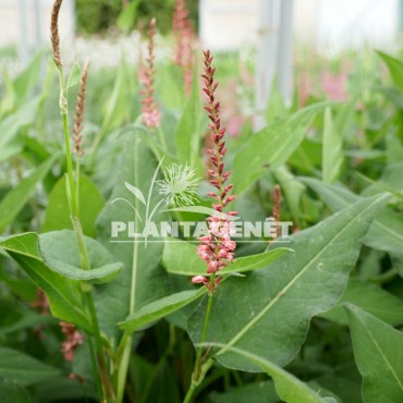 PERSICARIA amplexicaulis Orange field