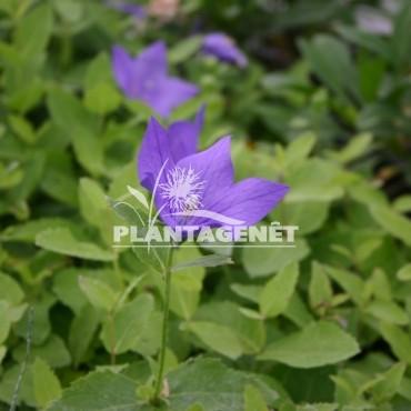 PLATYCODON grandiflorus Fuji Blue