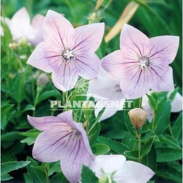 PLATYCODON grandiflorus Fuji Pink
