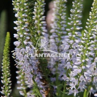 VERONICA longiflora Zoë