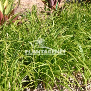 CAREX pilosa Copenhagen select