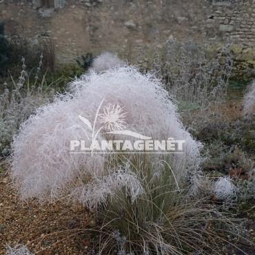 MUHLENBERGIA capillaris