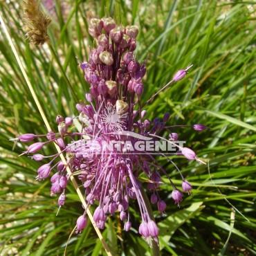 ALLIUM carinatum ssp pulchellum