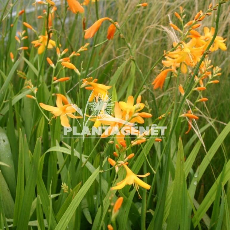 CROCOSMIA x crocosmiflora George Davidson