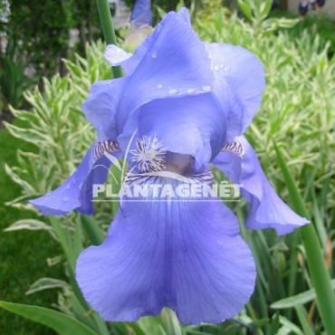 IRIS Harbor Blue