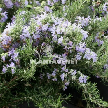 ROSMARINUS officinalis Beneden Blue
