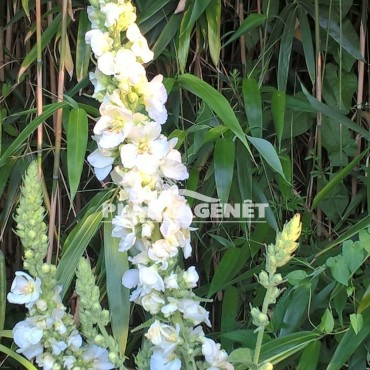 VERBASCUM phlomoides Spica