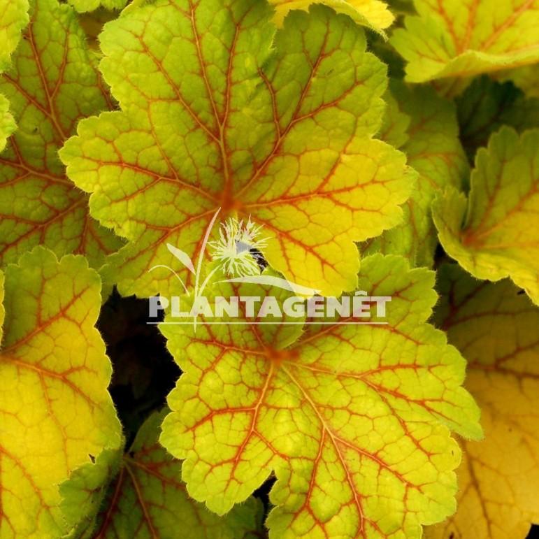 Heuchère jaune et rouge Heuchera /'Electra/'®