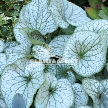 BRUNNERA macrophylla Alexanders Great