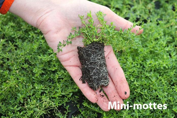Mini-mottes