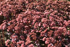 photo de sedum purple emperor tapis de fleurs roses